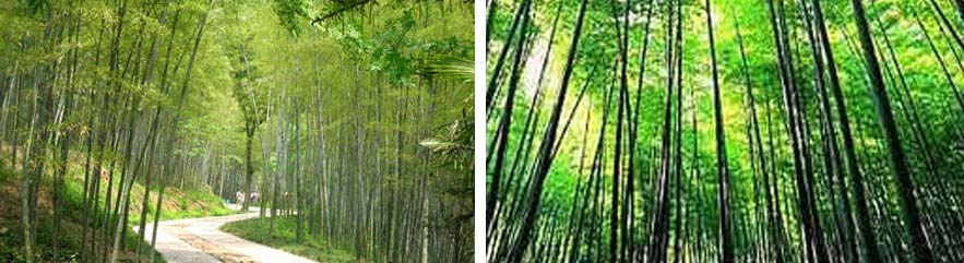 有斑竹,橄榄竹