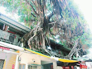 """台湾/两棵百年老榕树在高雄许家""""住""""了五十年。..."""